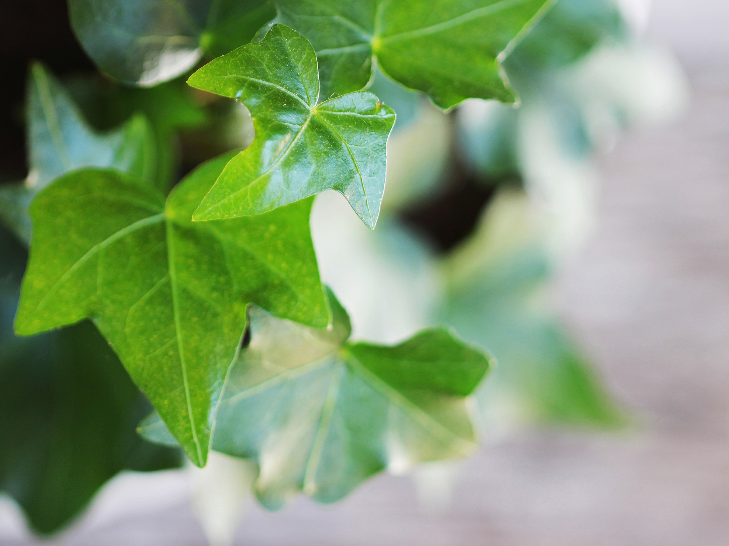 Leaves of English ivy plant
